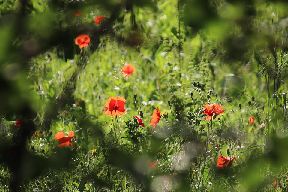 Poppies, Herbs, Plants, Field, Botany, Fields, Red, Pre