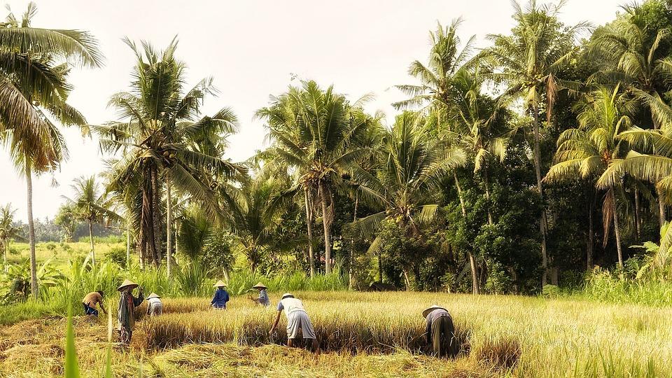 Indonesia, Bali, Fieldwork, Rice Harvest, Farmers