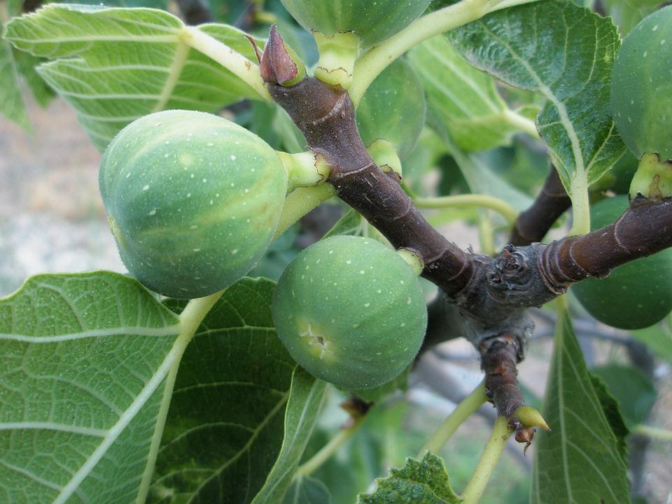 Fig, Breva, Higera, Fruit, Food