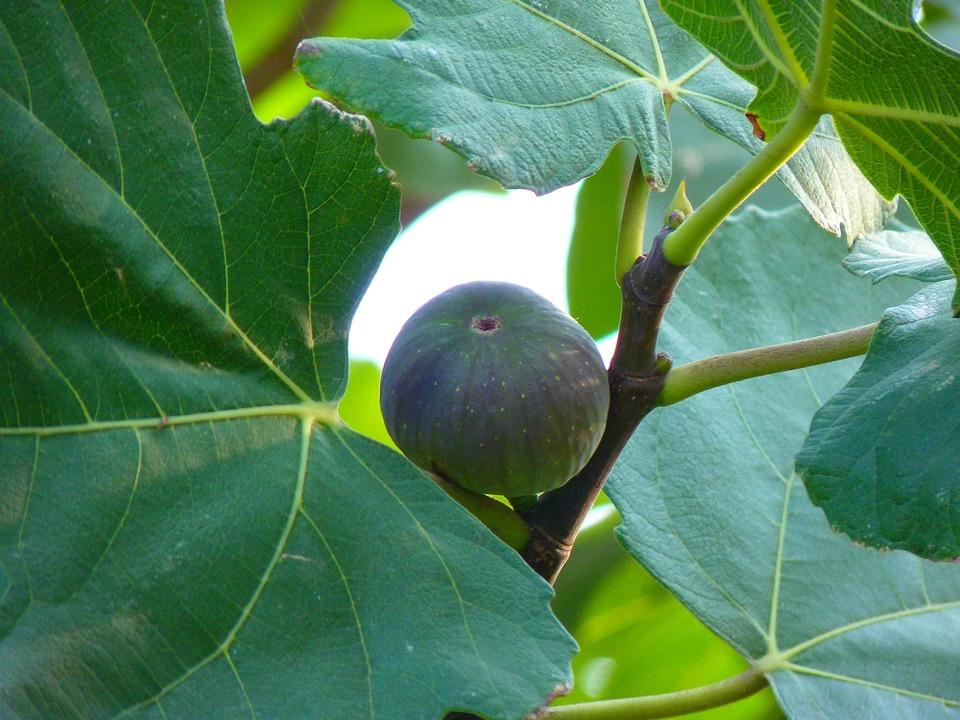 Fig, Fig Fruit, True, Ficus, Carica, Green, Fig Tree