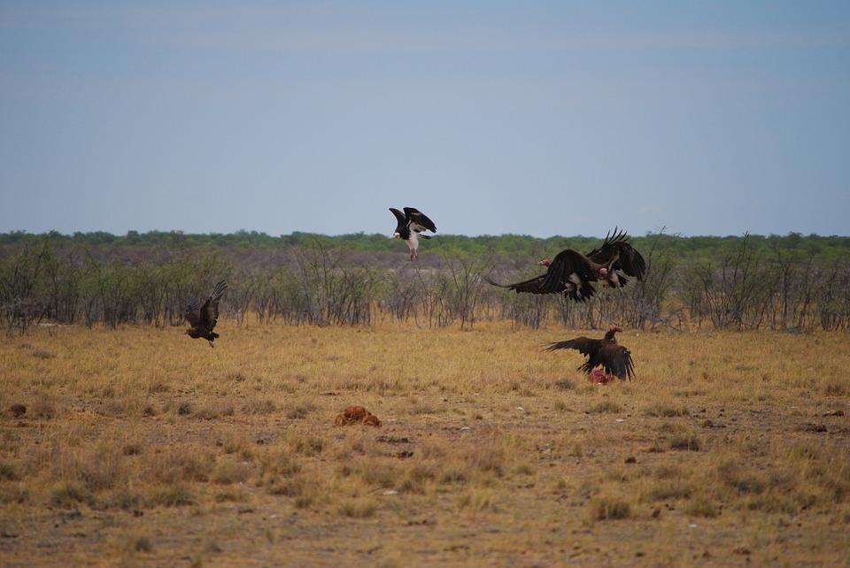 Vulture, Fight, Fly, Wing, Movement, Africa, Birds