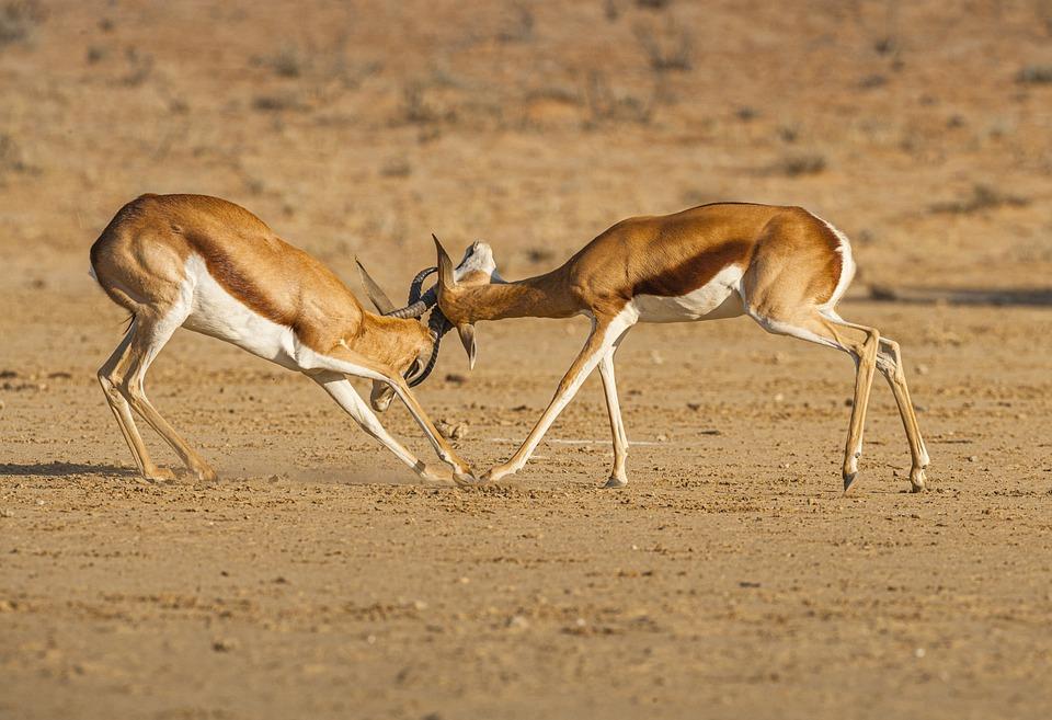 Springbok, Animals, Safari, Fighting, Fight