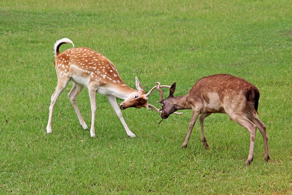Deer, Fight, Fighting, Antlers, Locked, Spotted