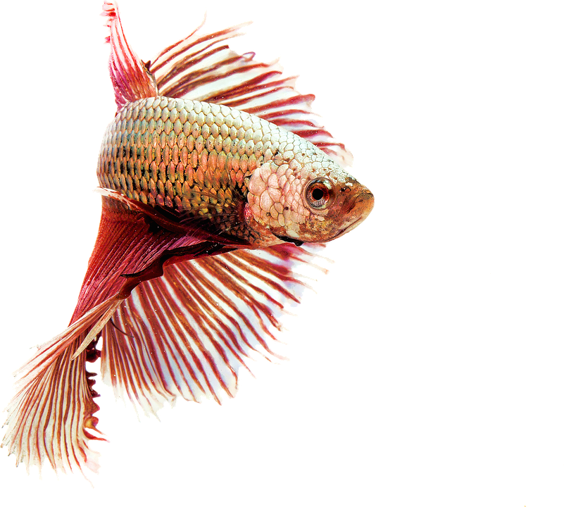 Isolated, Fighting Fish, Red, Freshwater, Animals