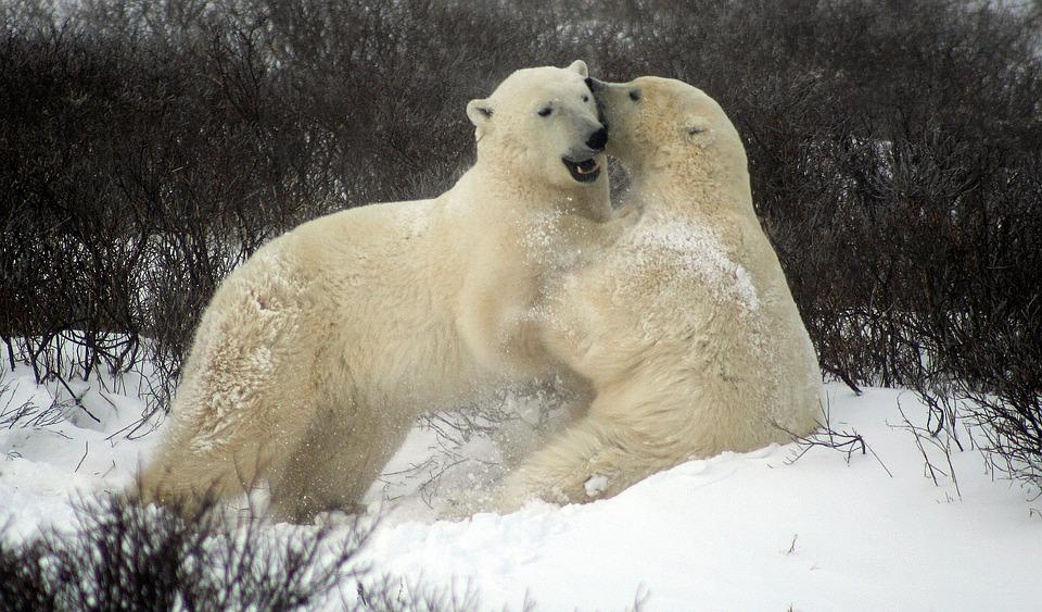 Free photo Fighting Polar Bears Sparing Polar Bears - Max ...