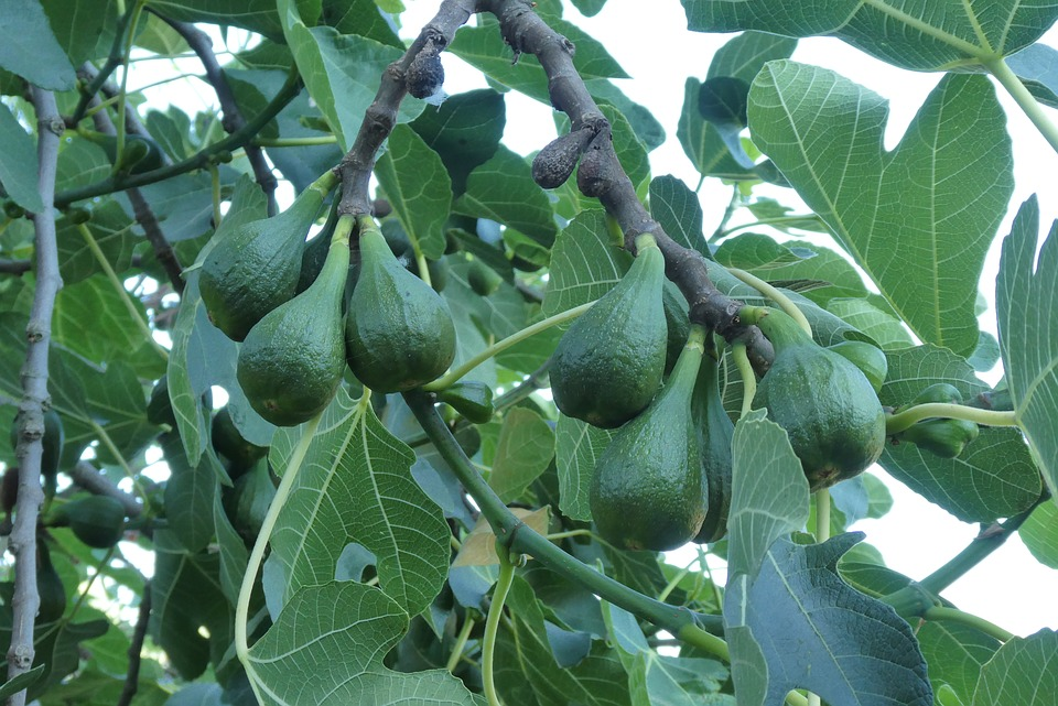 Fig Tree, Fruits, Figs, Mature, Green, Leaves, Sheet