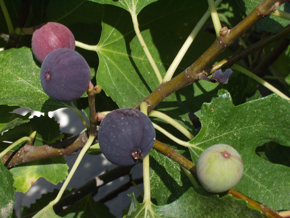 Figs, Fig Tree, Fruits, Fruit, Purple, Fig Leaves