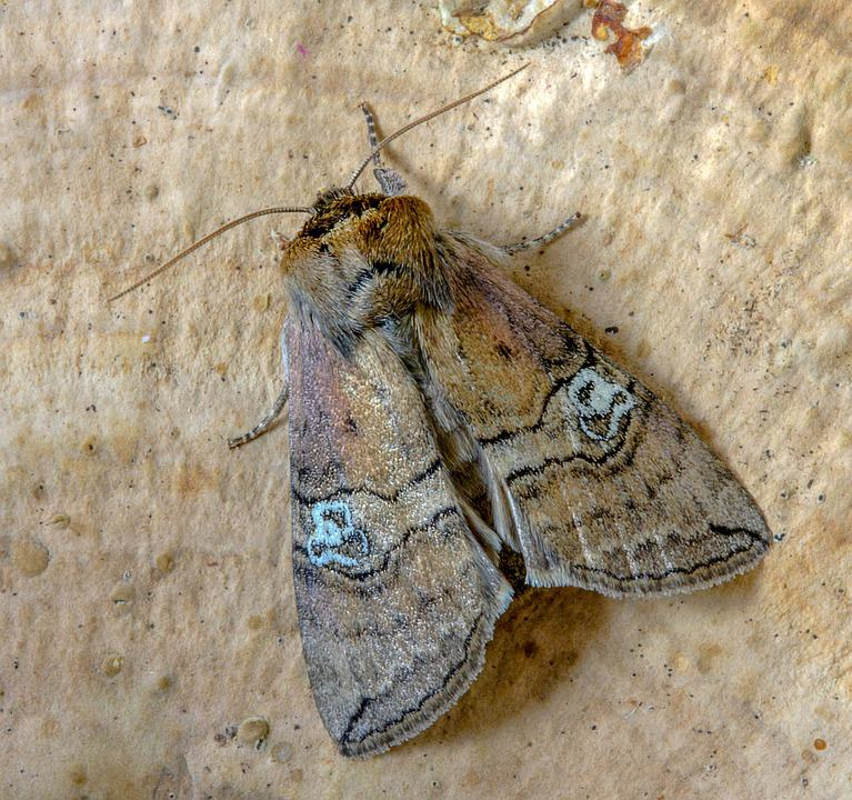 Moth, Figure-of-eighty, Wings, Pattern, Nature, Insect