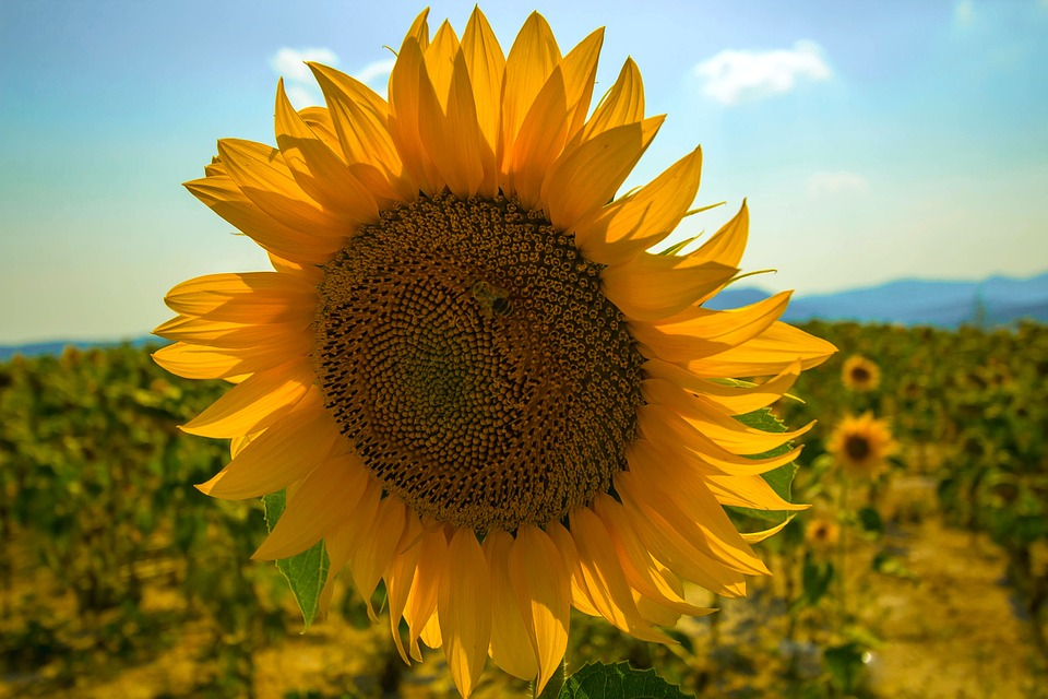 Sunflower, Summer, Nature, Plant, File, Agriculture