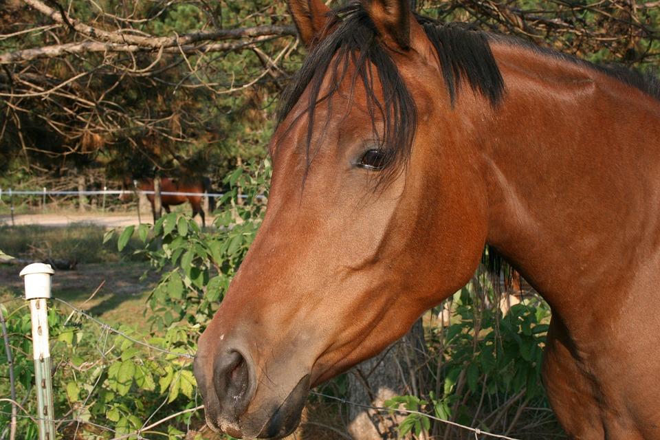 Horse, Foal, Filly, Mare, Bay, Arabian, Arab, Pine