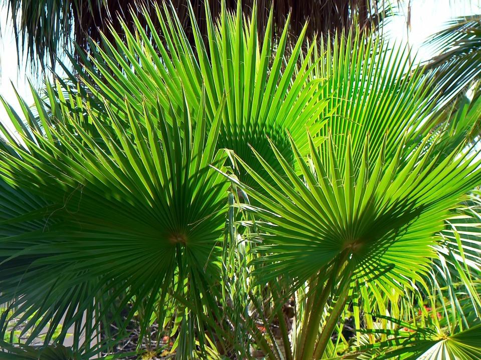 Palm, Washingtonia, Foliage, Thorns, Fin, Green