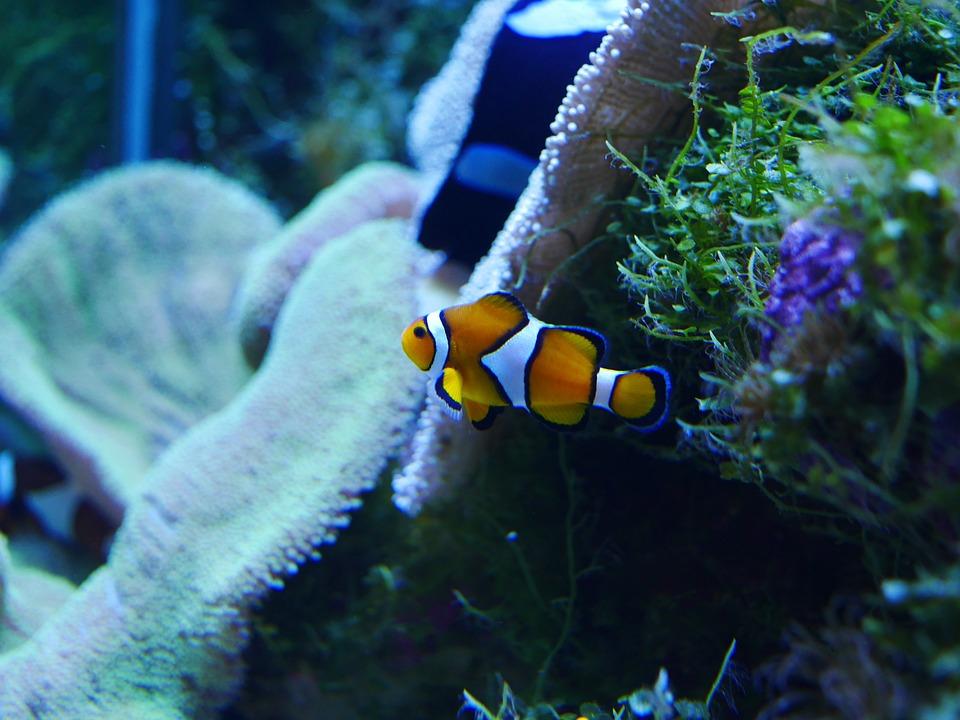 Nemo, Finding Nemo, Clownfish, Coral, Sea, Fish