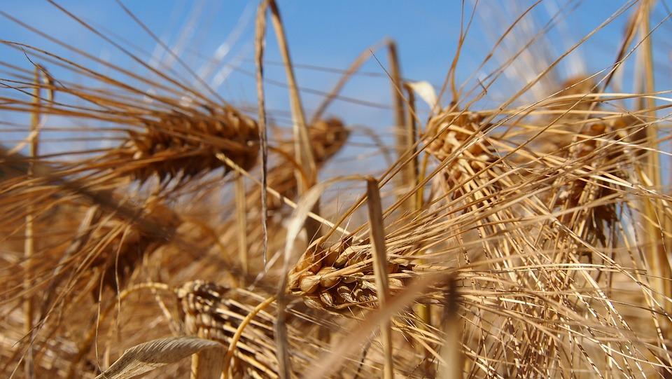 Grain, Field, Finnish, Countryside, Barley, Hay