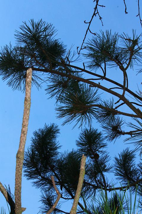 Blue, Sky, Fir, Branches, Aesthetic