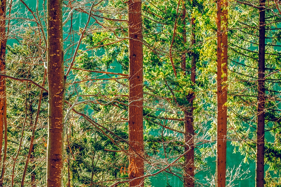 Forest, Tree Trunks, Trees, Nature, Mood, Fir Forest