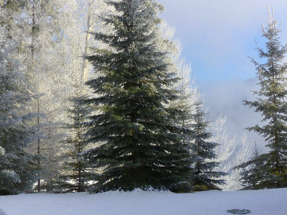 Tree, Fir, Hoarfrost, White Frost, Rime, Frost, Winter