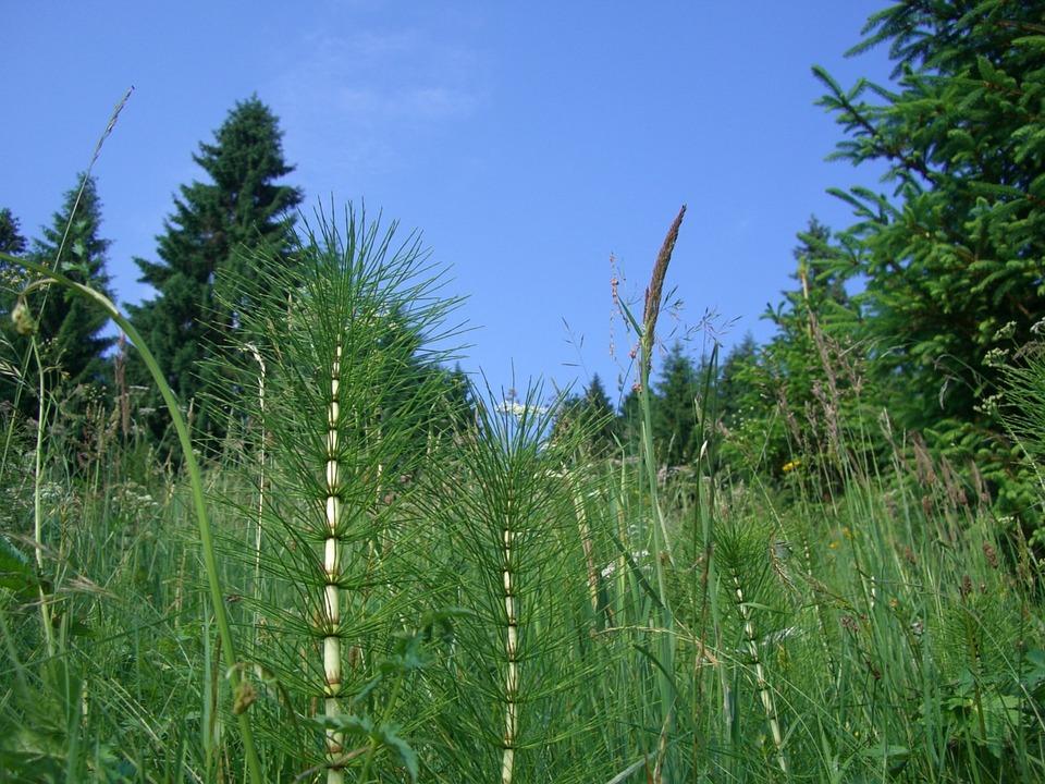 Horsetail, Grasses, Fir, Sky Blue