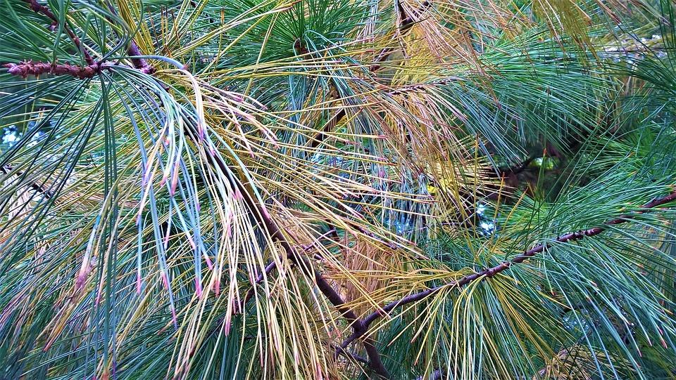 Fir, Pine, Tree
