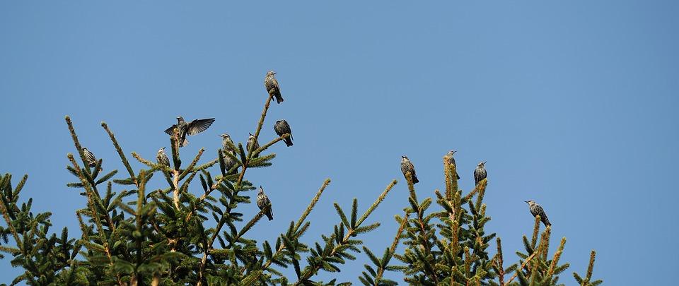 Star, Bird, Nature, Animal, Songbird, Fir Tree