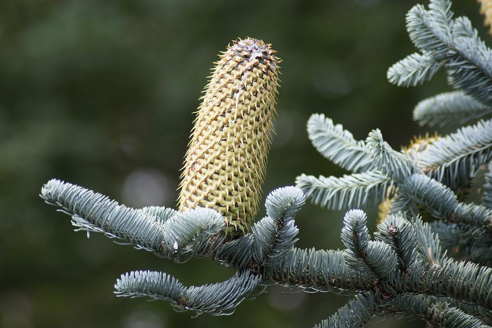 Pine Cones, Fir Tree, Silver Fir, Nobilis Fir, Glauca