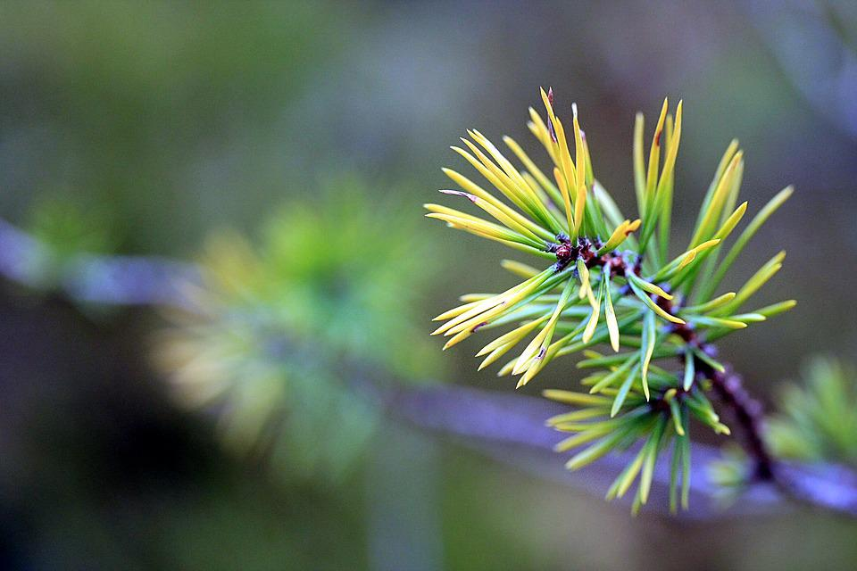 Branch, Spruce, Fir Tree, Nature, Tree, Needles, Forest