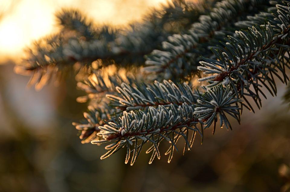 Fir Tree, Needles, Ripe, Frost, Pine Needles