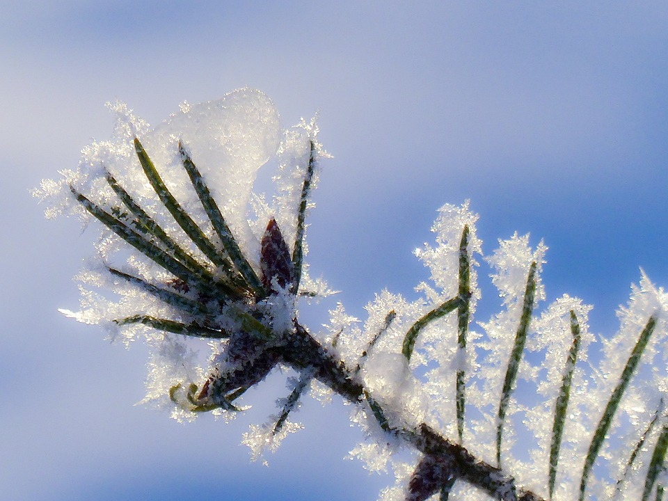 Tree, Branch, Fir, Hoarfrost, White Frost, Rime, Frost