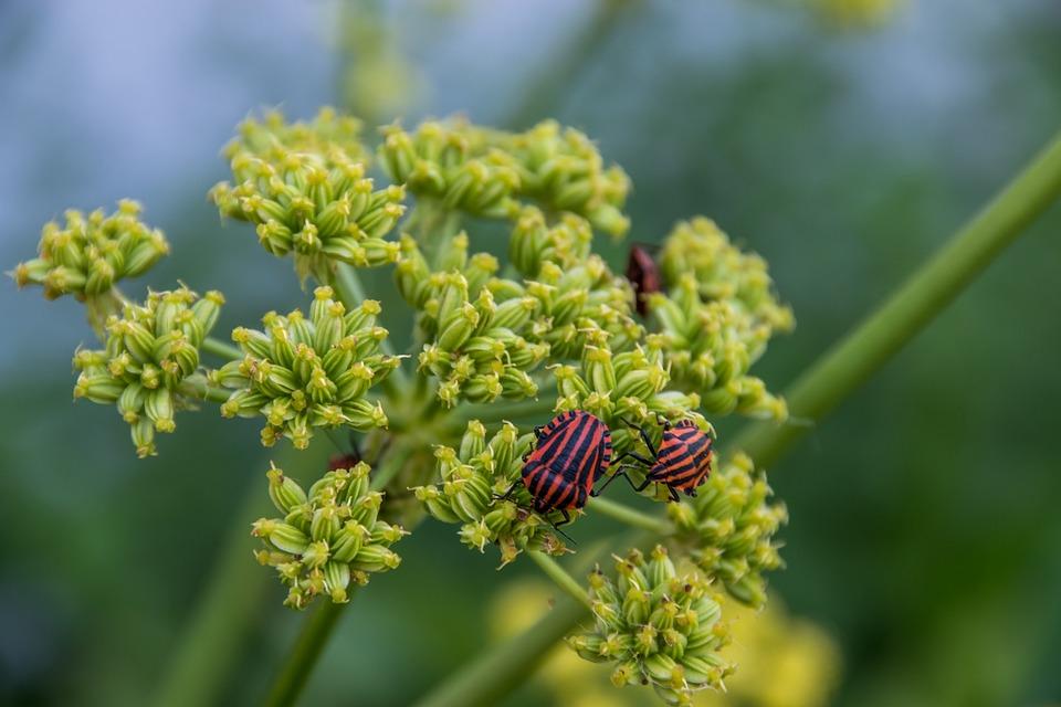 Fire Beetle, Beetle, Summer, Nature, Lovage, Flower