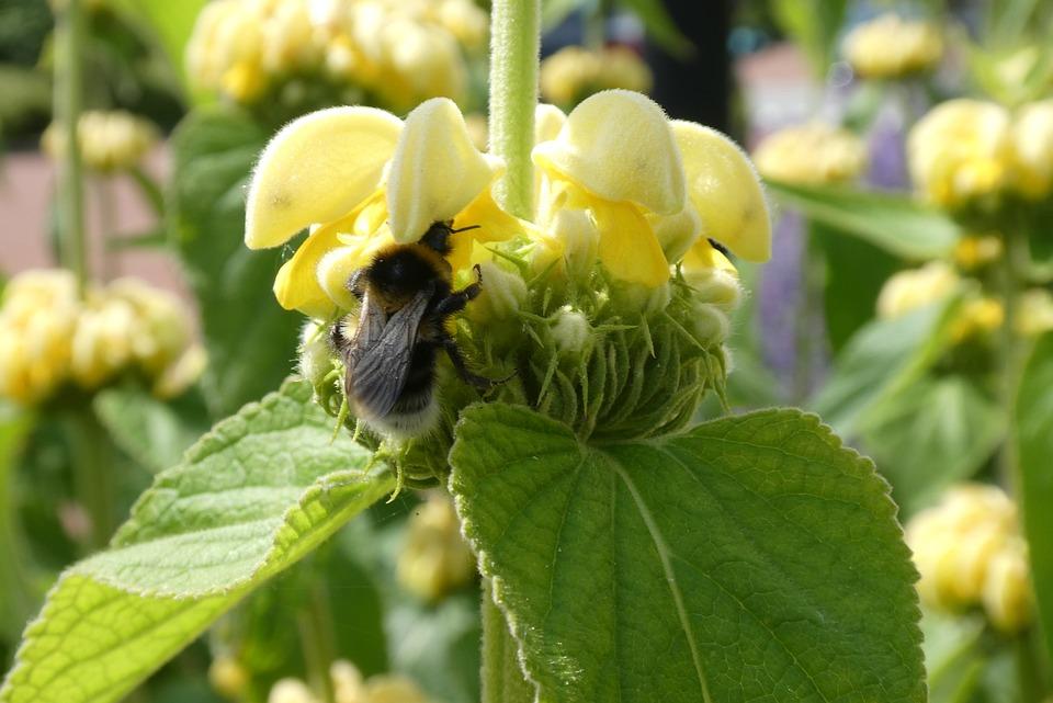Fire Herb, Phlomis Russeliana, Yellow Flower, Summer
