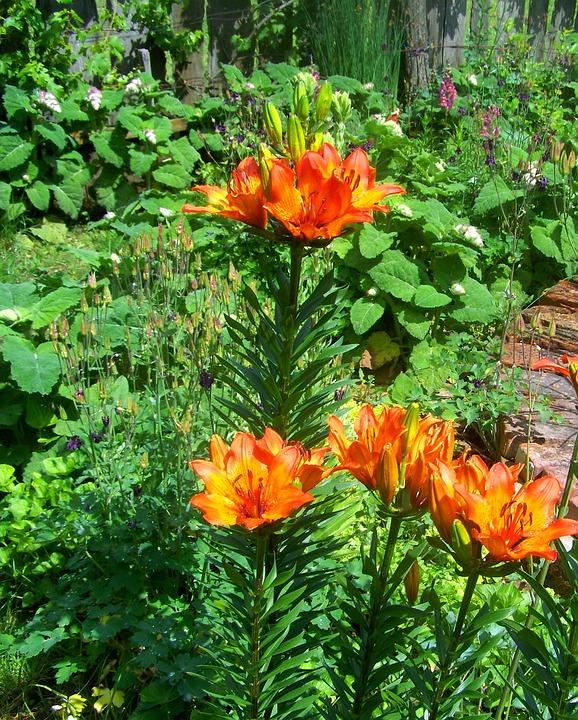 Fire Lily, Summer, Garden, Orange