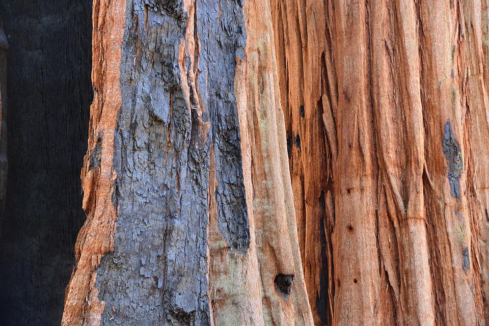 Sequoia, Tree, Bark, Fire, Tribe, Nature