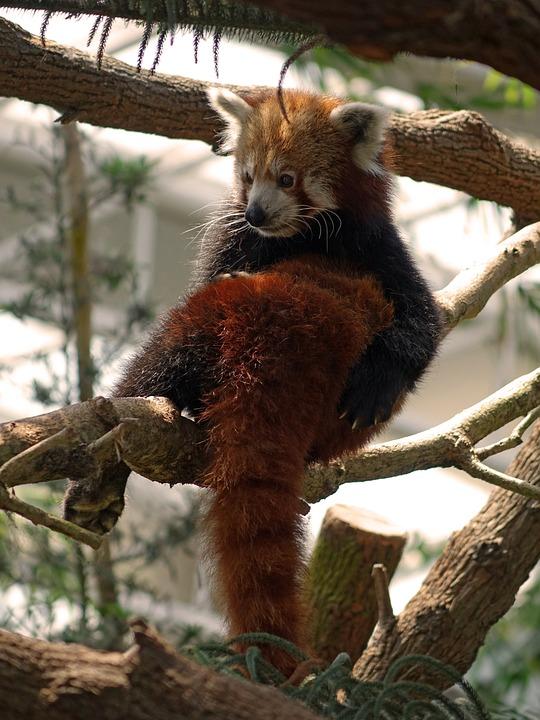 Red Panda, Firefox, Animal, Wildlife, Chinese, Adorable