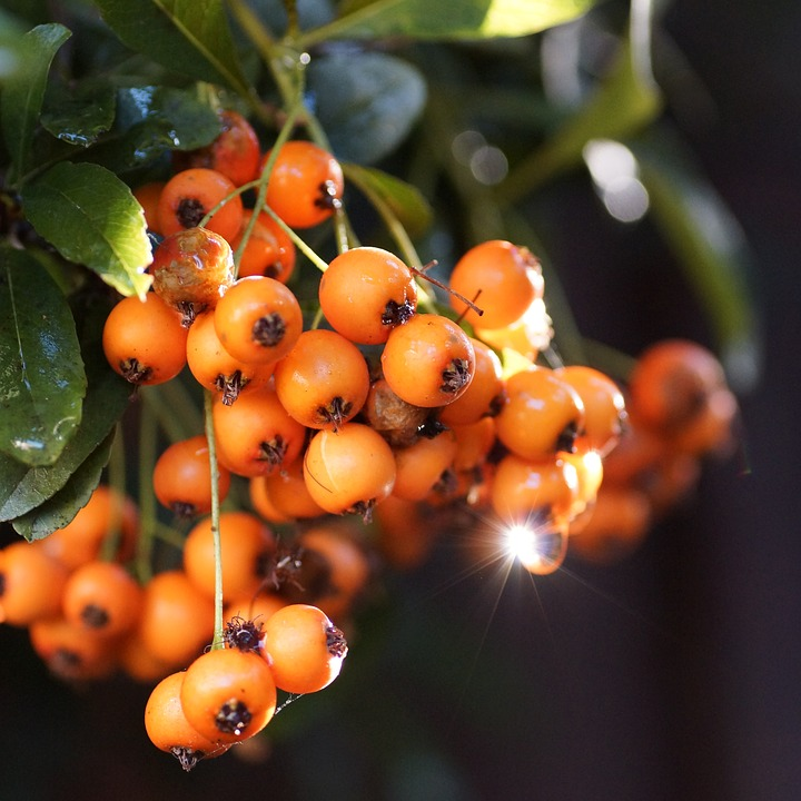 Firethorn, Garden, Berries, Orange Berry