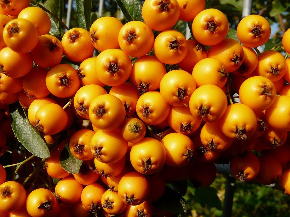 Firethorn, Berry, Bush, Orange, Time Of Year, Autumn