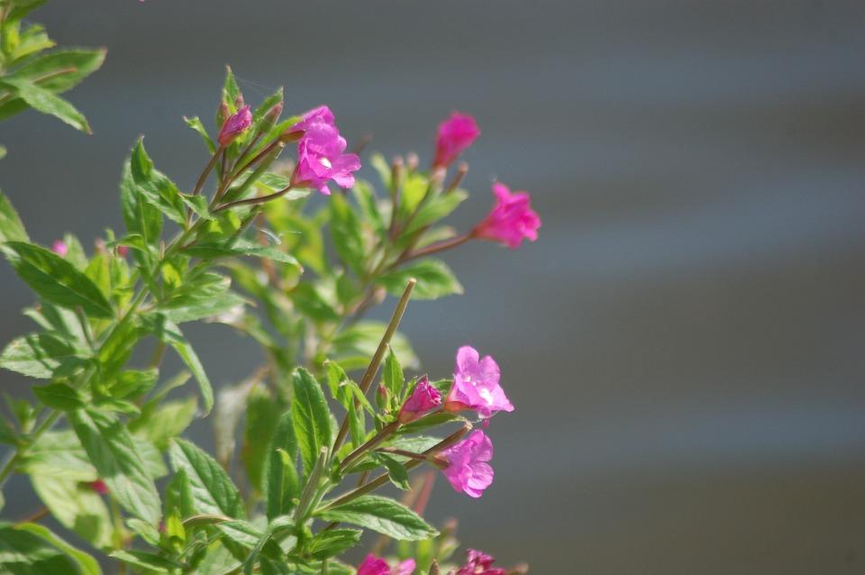 Fireweed, Flower, Spring