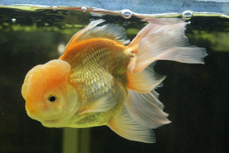 Goldfish, Aquarium, Underwater, Bubbles, Orange, Fish