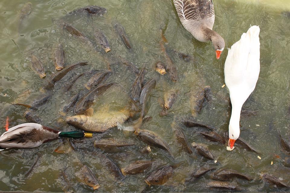 Lake, Birds, Fish, Water