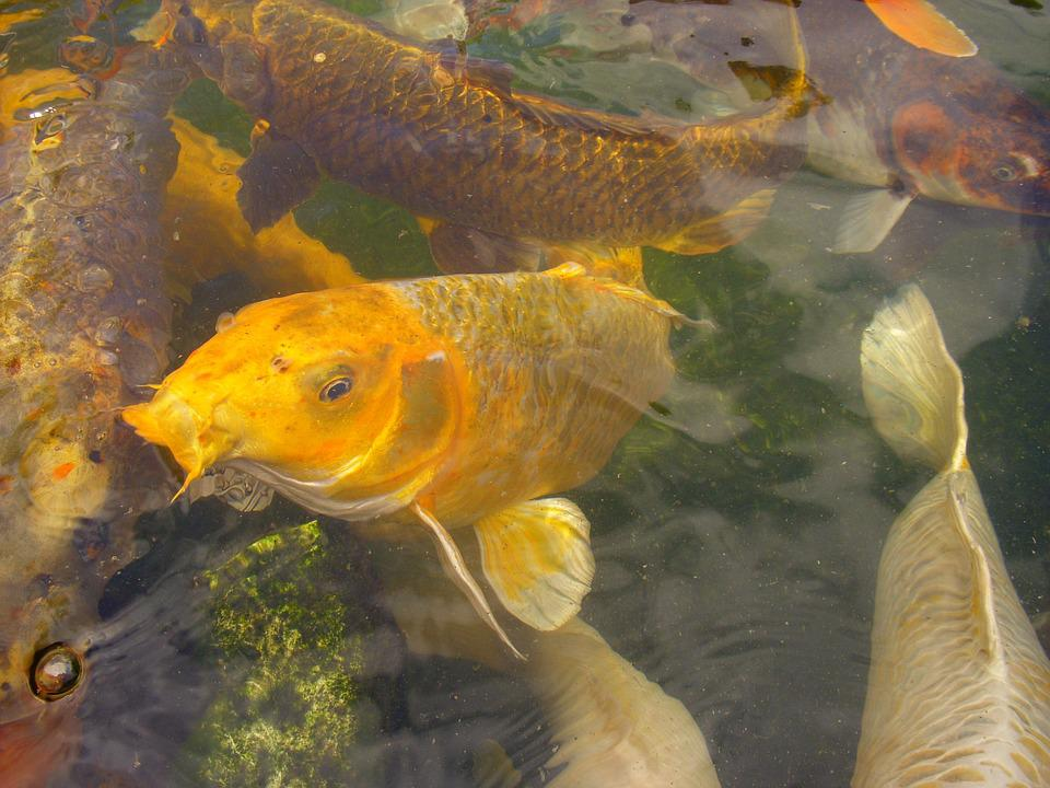 Koi, Carp, Fish, Pond, Yellow, Cyprinus Carpio