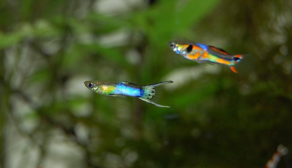 Free Photo Fish Colorful Aquarium Freshwater Guppy Max Pixel