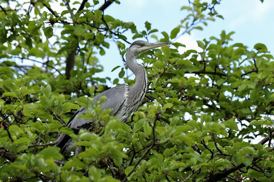 Grey Heron, Heron, Bird, Eastern, Fish Eater, Bill