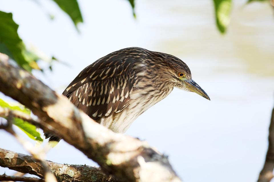 Bird, Striated Heron, Fish Eater, Fish-eating Bird