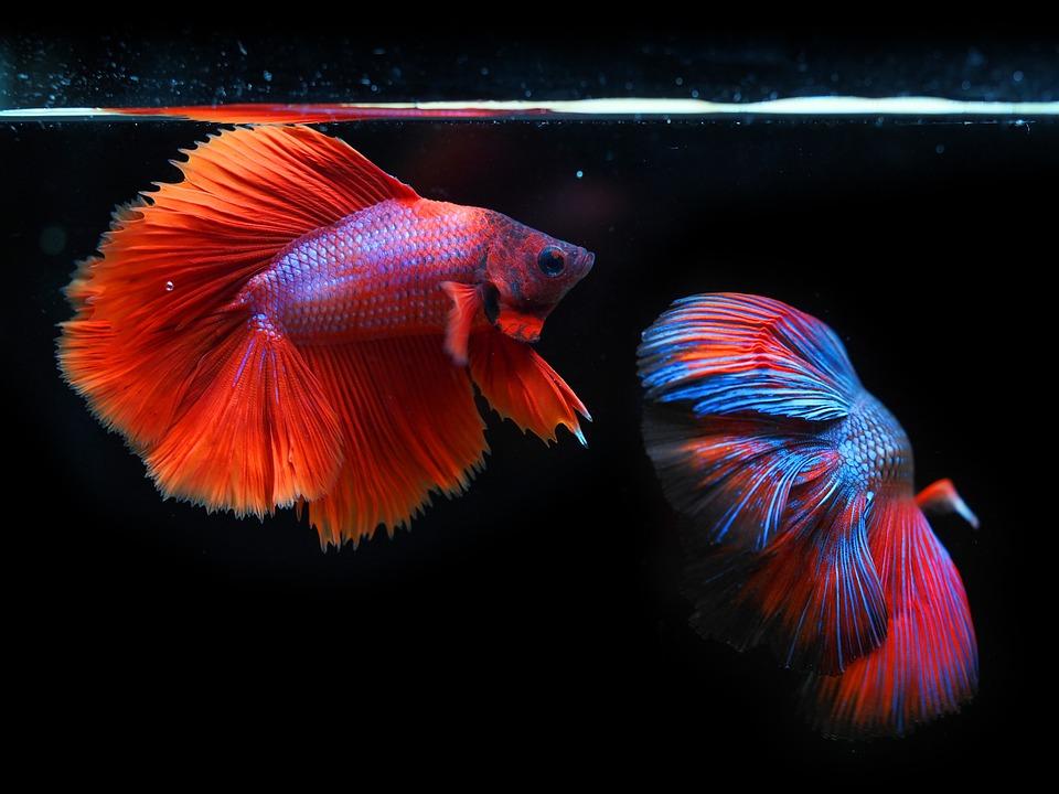 Siamese Fighting Fish, Fighting Fish, Fish, Betta Fish