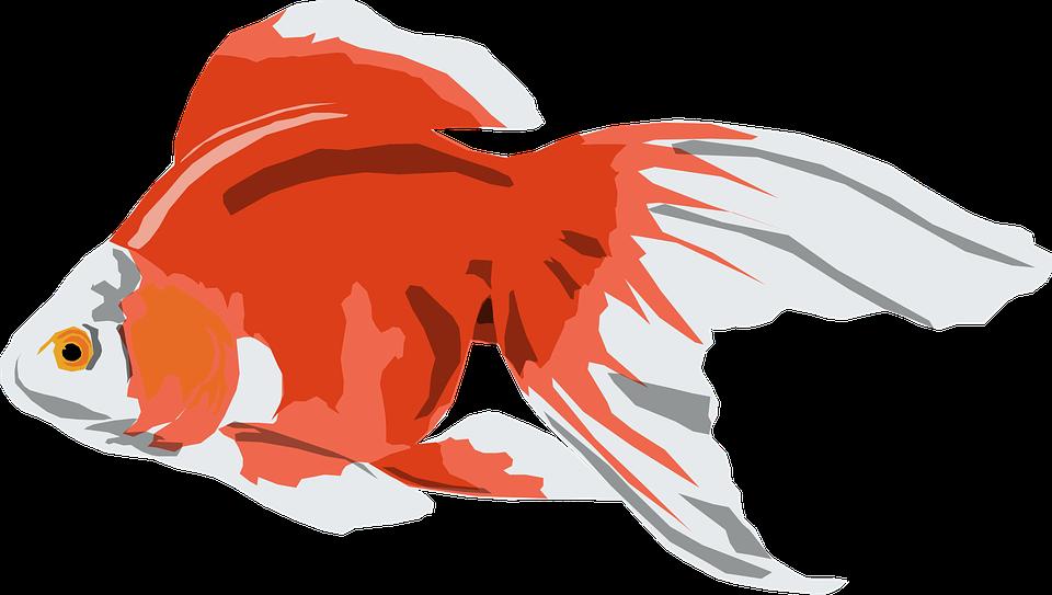 Goldfish, White, Orange, Fish, Pet, Tail, Fins