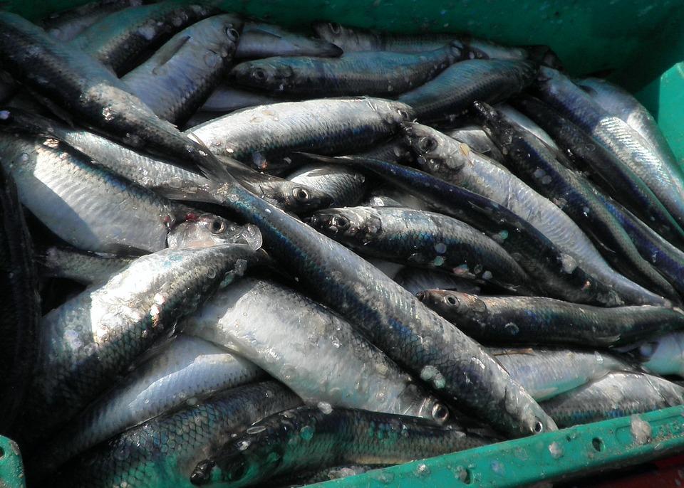 Herring, Fish, Food, Freshly Caught, Fishing