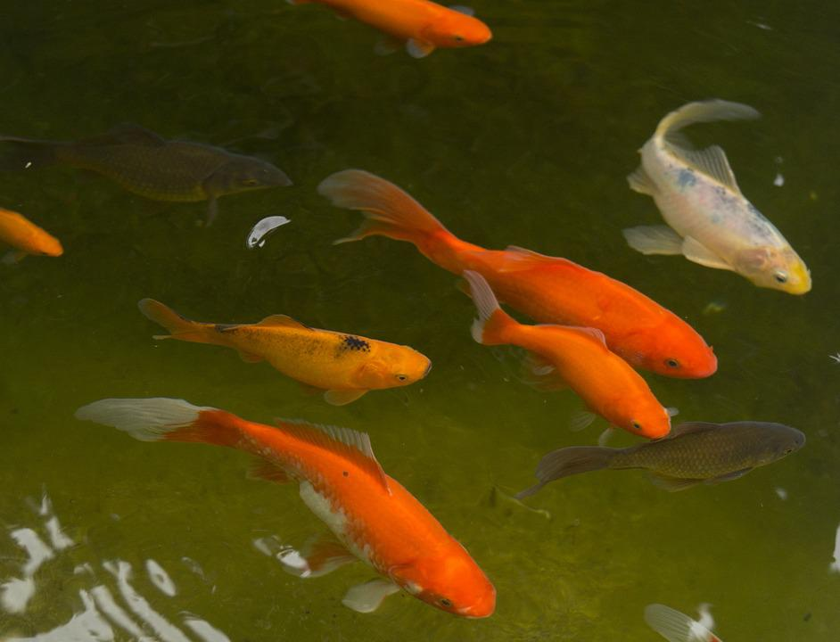 Garden Pond, Goldfish, Fish, Water, Red, White, Black