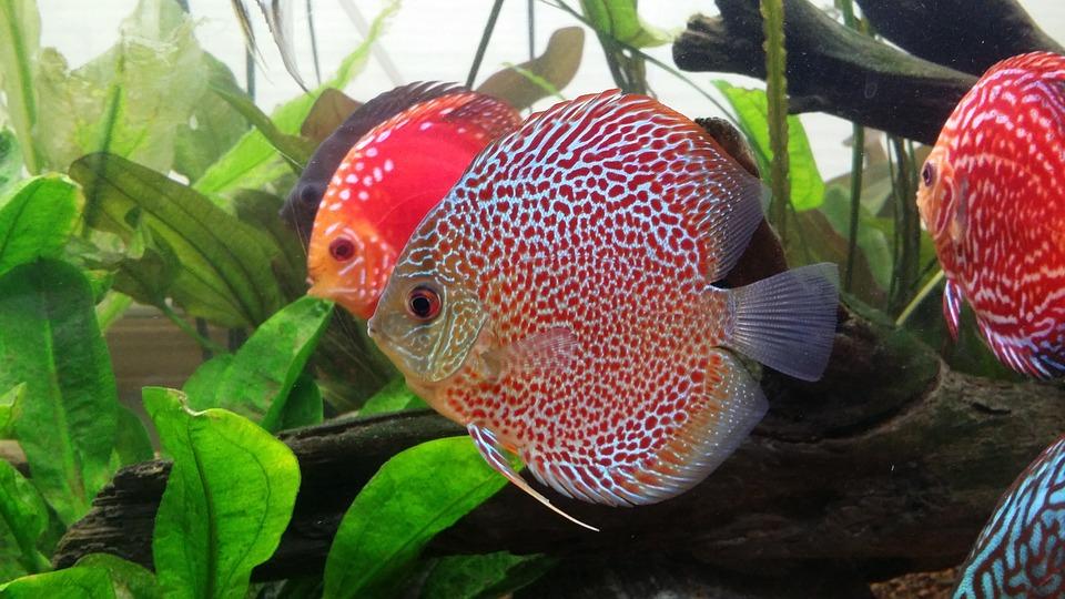 Discus Fish, Leopard, Fish
