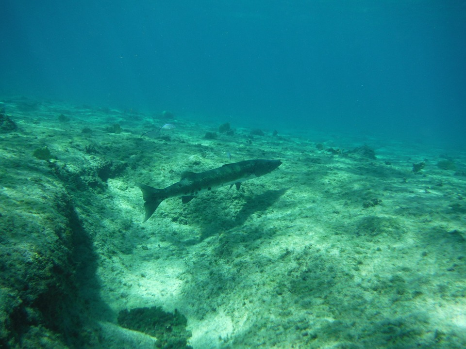 Barracuda, Fish, Underwater, Diving, Ocean