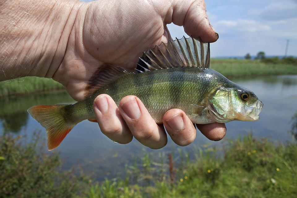 River Fish, Coarse Fishing, Perch, Fish, Freshwater