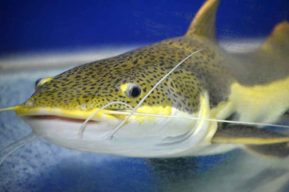 Fish, Animals, Look, Tentacles, Whiskers, Spotted Fish