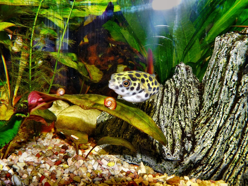 Puffer Fish, Toxic, Aquarium, Fish, Water, Exotic
